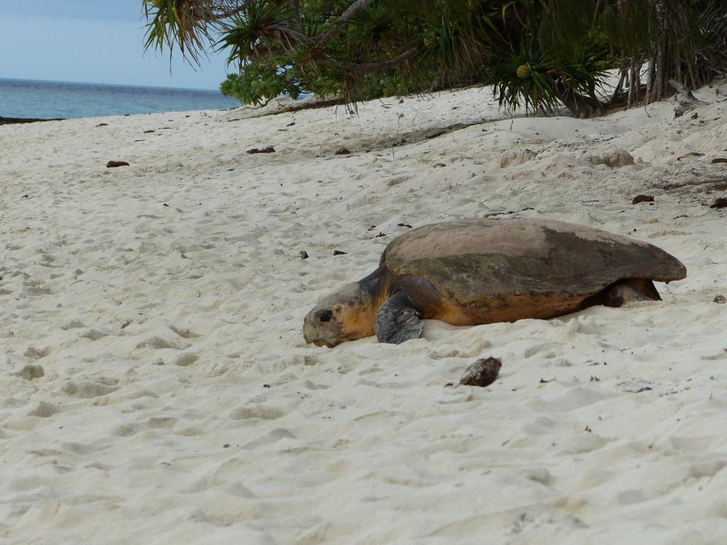 Loggerhead Sea Turtle (Unechte Karettschildkröte – Caretta Caretta)