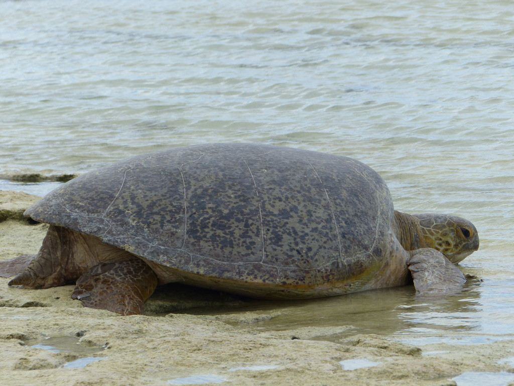 Green Sea Turtle (Suppenschildkröte)
